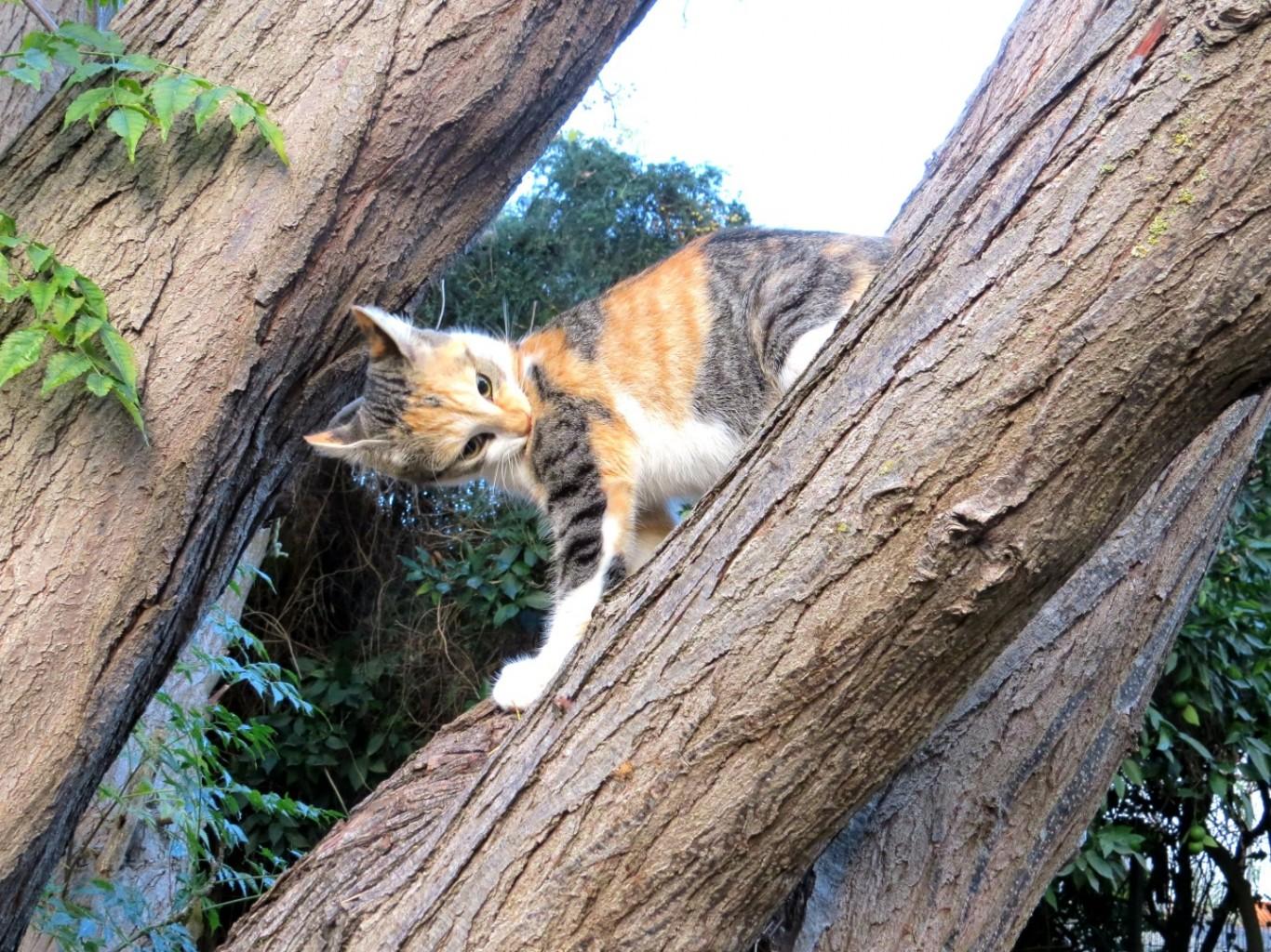 חתולה טריקולורית