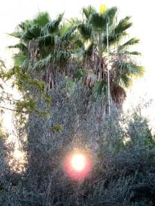 עצי דקל
